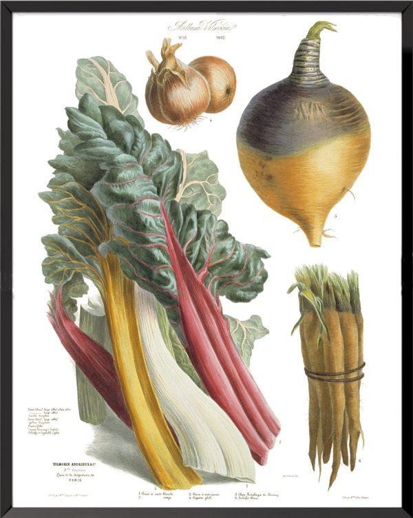 Illustration Les Plantes Potagères Planche n° 13 - 1862, Album Vilmorin