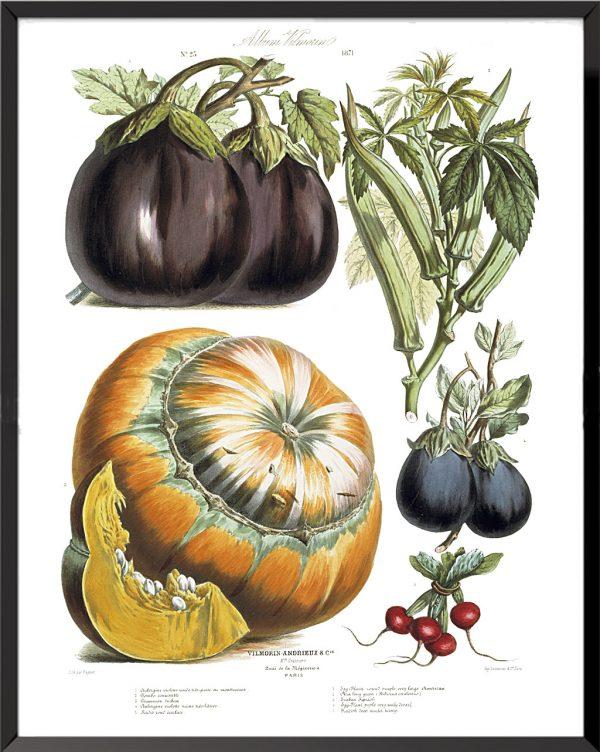 Illustration Les Plantes Potagères Planche n° 23 - 1871, Album Vilmorin