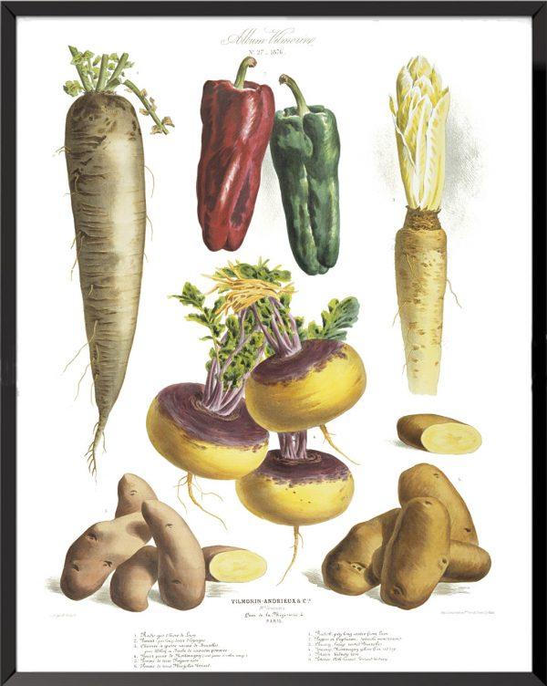 Illustration Les Plantes Potagères Planche n° 27 - 1876, Album Vilmorin