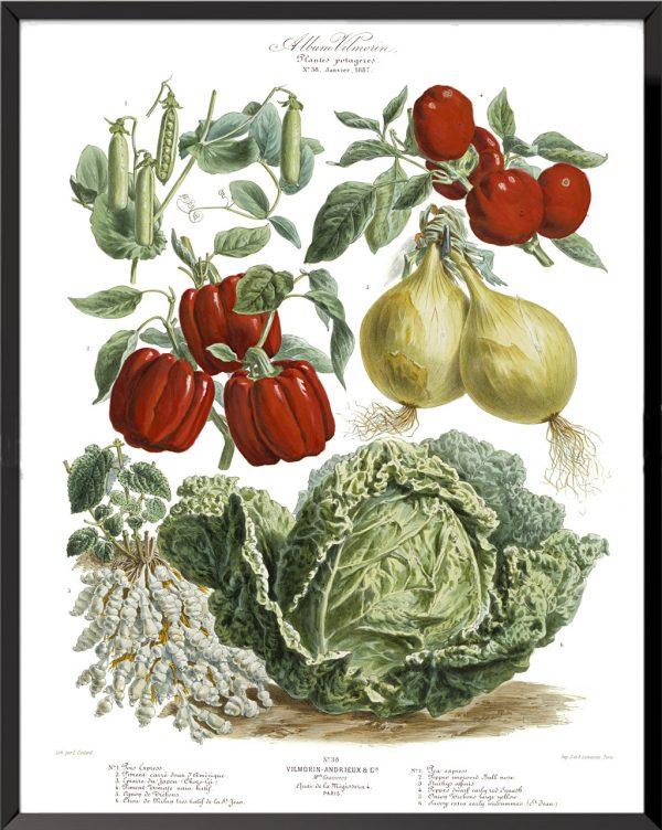 Illustration Les Plantes Potagères Planche n° 38 - 1887, Album Vilmorin