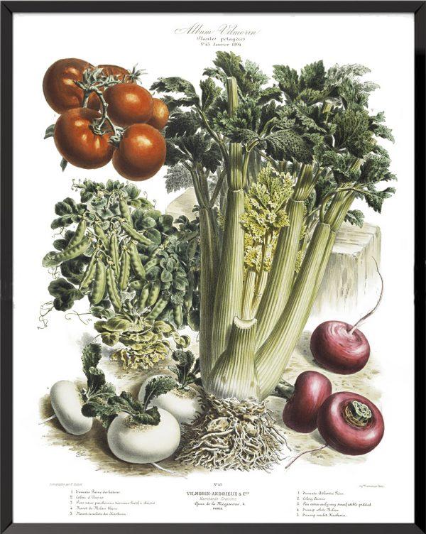Illustration Les Plantes Potagères Planche n° 45 - 1894, Album Vilmorin