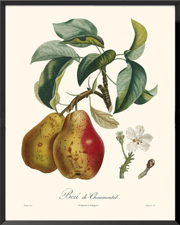 Illustration Béry de Chaumontel de Pierre Jean François Turpin