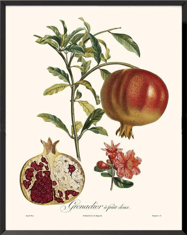 Illustration Grenadier à fruits rouges de Pierre Jean François Turpin